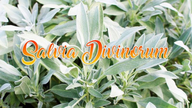 propiedades de la salvia divinorum